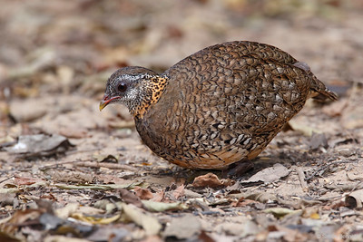 Green-legged Partridge