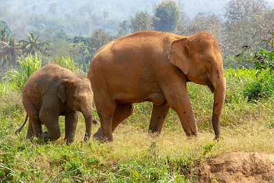 Mom and baby elephant walking in Thailand