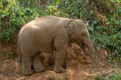 Baby elephant rubbing body in dirt in Thailand