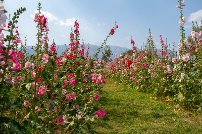 Pathway through colorful garden of Hollyhocks in Chiang Mai, Thailand