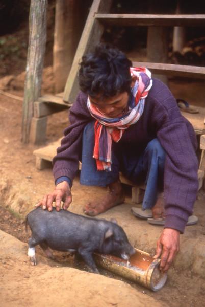Man feeds piglet from trough in Karen village, Pai area, Thailand