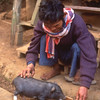 Man feeds piglet from trough in Karen village, Pai area, Thailand