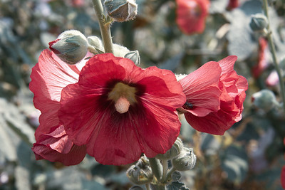 Red hollyhocks in Chiang Mai, Thailand