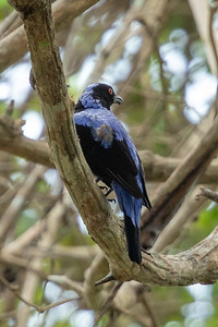 Asian Fairy-Bluebird