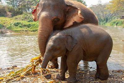 Mom and baby elephant eating by the river in Thailand
