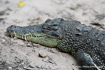 As Gritty As A Rock--Croc Story In Thailand