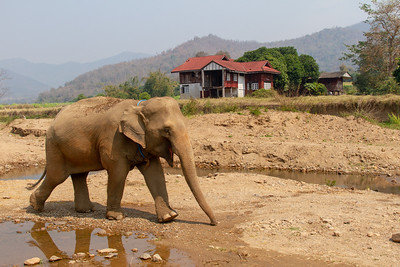 Young Asian elephant walking by the water with house and mountain in background