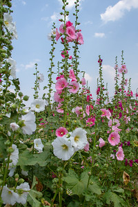 Tall pink and white Hollyhocks in Chiang Mai, Thailand