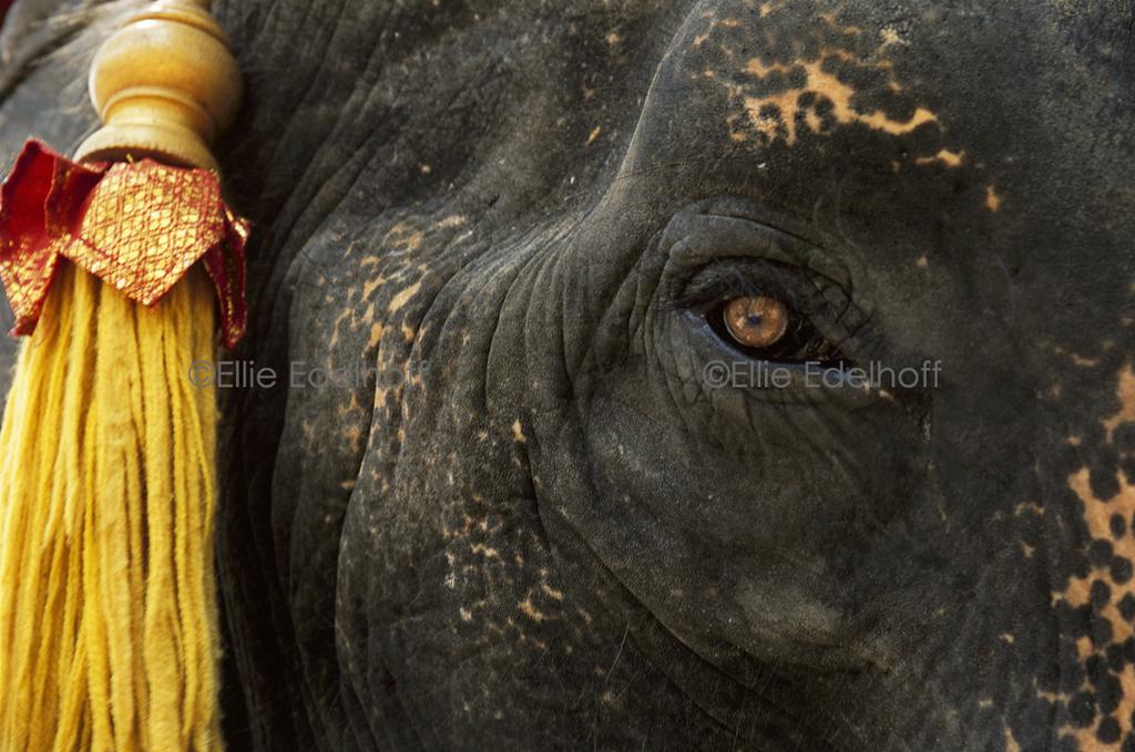 A Pachyderm's Portrait – Thailand
