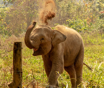 Baby Elephant flinging dirt in the air in Thailand