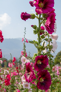 Tall stem of colorful Hollyhocks in Chiang Mai, Thailand