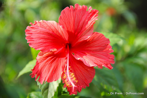 The Tale Of The Humble Hibiscus