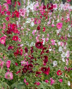 Cluster of colorful Hollyhocks in Chiang Mai, Thailand