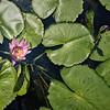 Lilies at Royal Temple, Bangkok