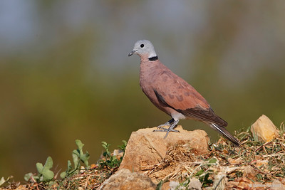 Red Turtle-Dove