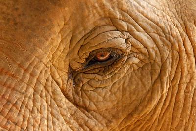 Close-up of Asian Elephant's eye