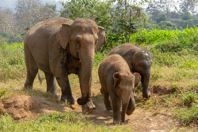 Mom and two baby elephants walking down a path in Thailand