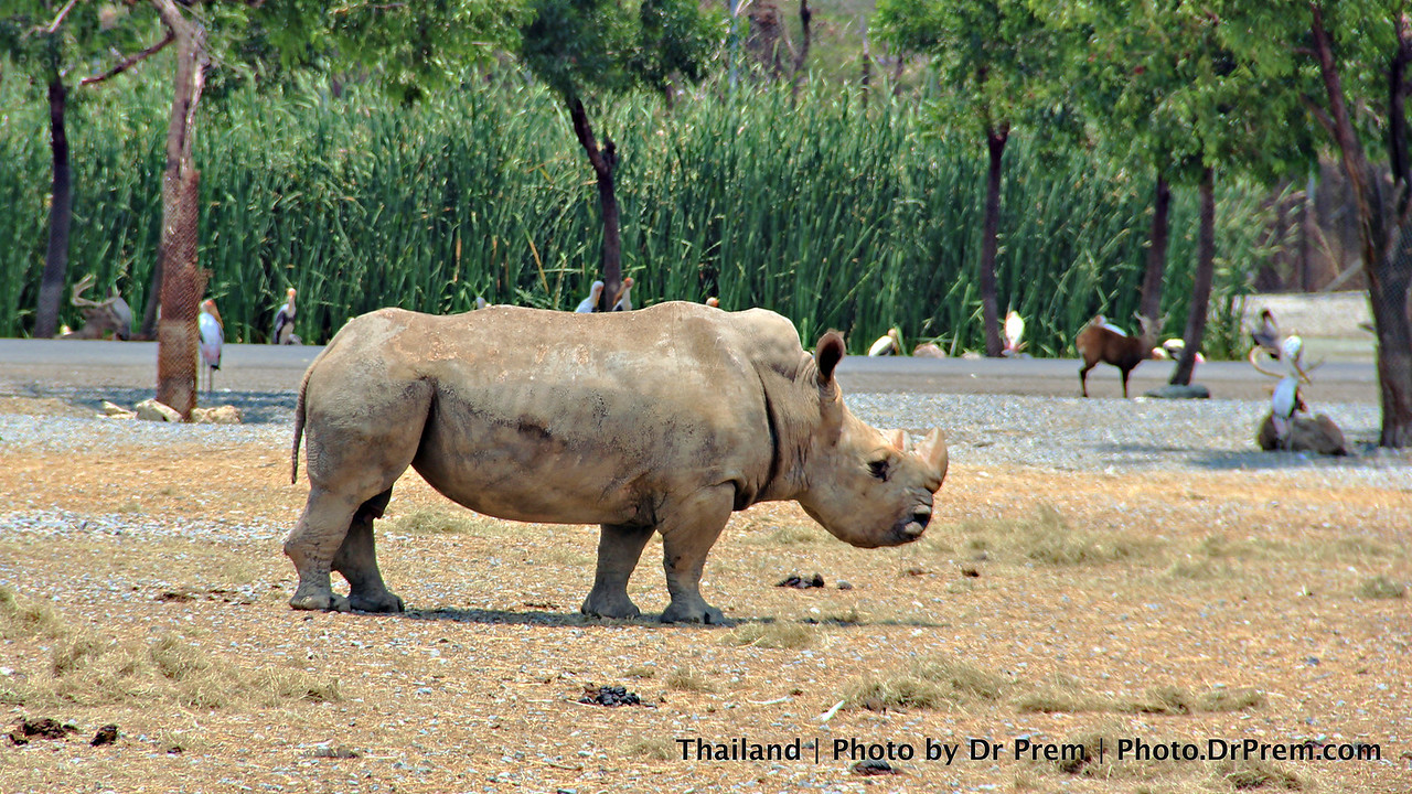 The Solitary Rhino