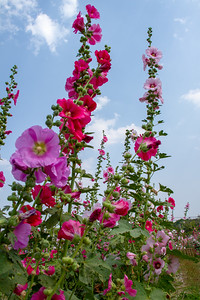 Pink, purple, and white hollyhocks with blue sky in Chiang Mai, Thailand