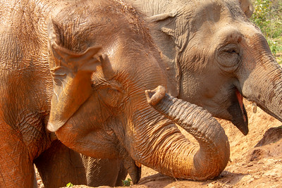 Closeup of Asian Elephant Heads at Mud Hole in Thailand
