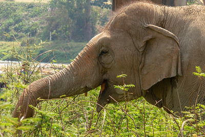 Elephant foraging for food in Thailand