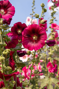 Close up of colorful Hollyhocks in Chiang Mai, Thailand