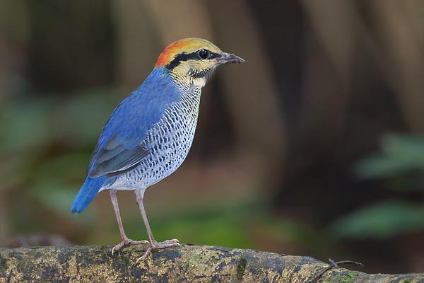 Blue Pitta