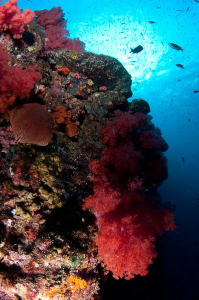 Soft corals at Hin Daeng