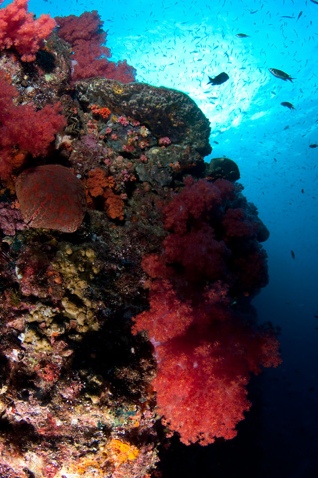 Soft corals at Hin Daeng