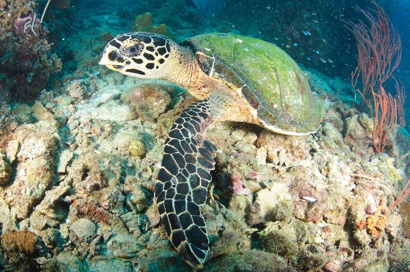 Turtle, Hin Wong, Koh Tao, Thailand