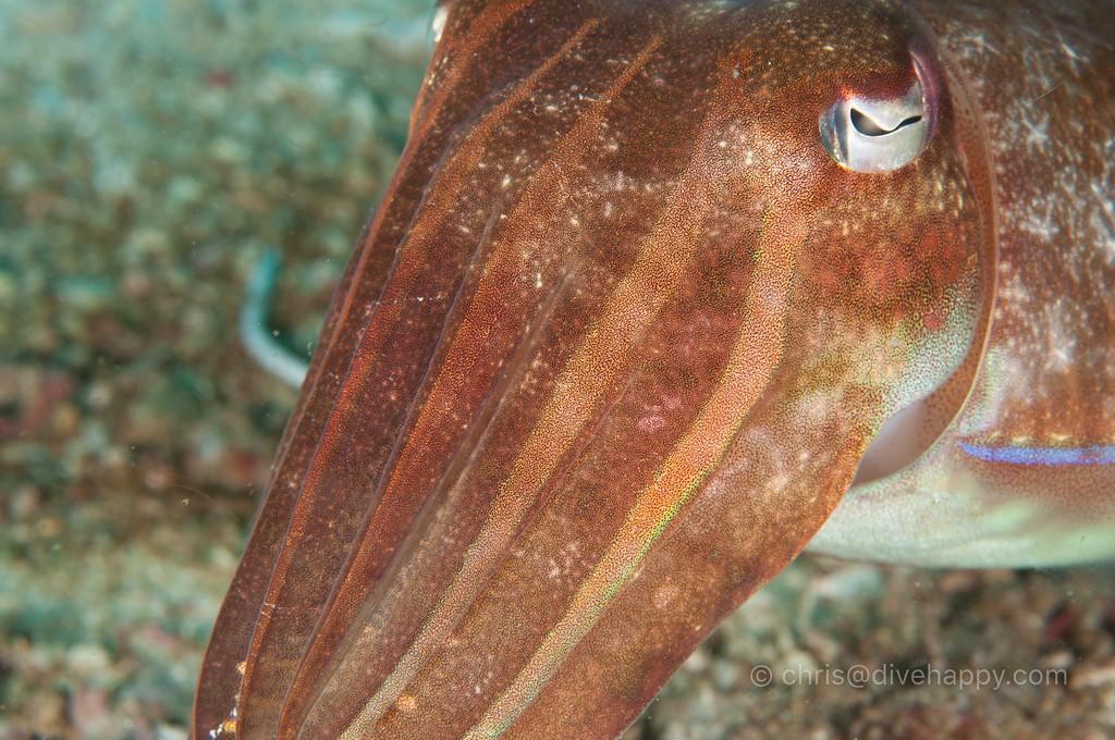 Cuttlefish, Myanmar
