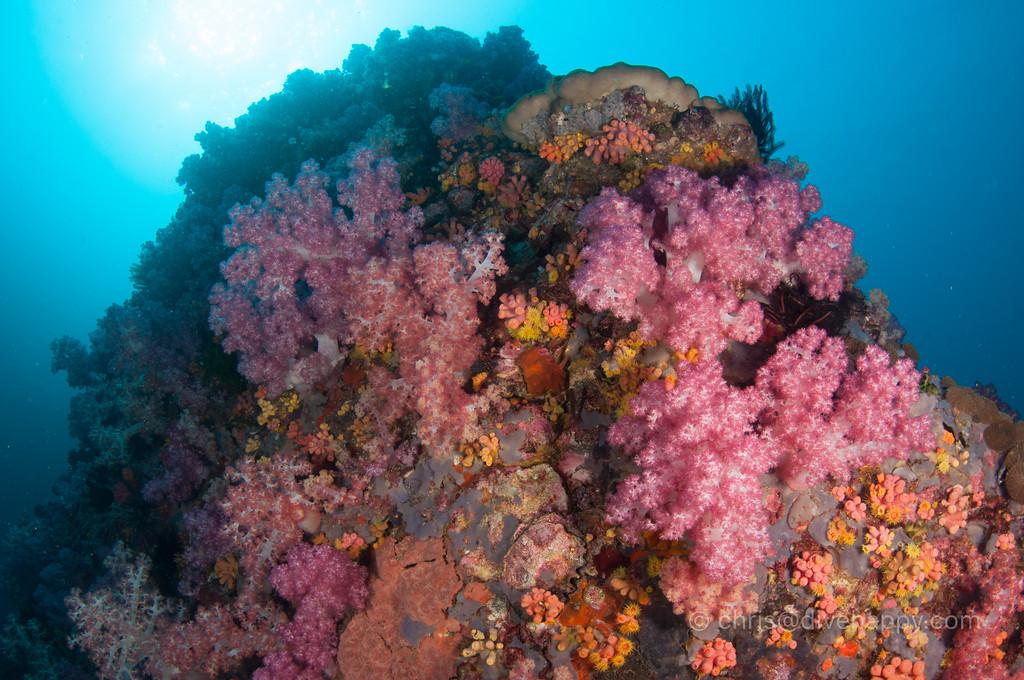 Soft corals, Myanmar