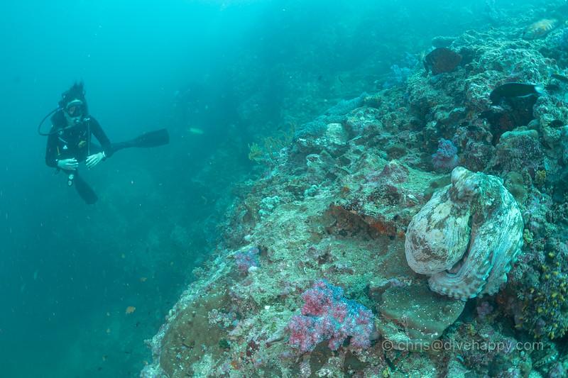 Dive buddy and octopus, Richelieu Rock