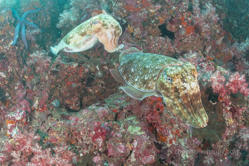 Cuttlefish at Richelieu Rock