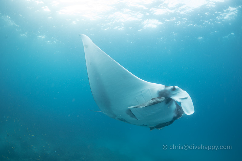Manta Ray on the safety stop, Breakfast Bend