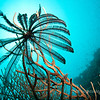Feather Star At Koh Bida, Thailand