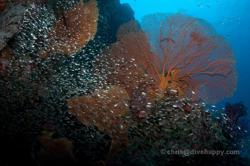Coral Fan And Glass Fish at Anita's Reef, Similan Islands, Thailand
