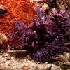 Lacey Scorpionfish, Hin Daeng, Thailand