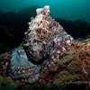 Octopus at Hin Daeng, Thailand