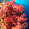Soft corals, Richelieu Rock, Similan Islands, Thailand