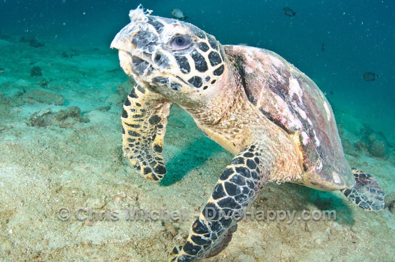 Turtle at Palong Wall, near Koh Phi Phi, Thailand