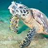 Turtle at Palong Wall, near Koh Phi Phi, Thailand