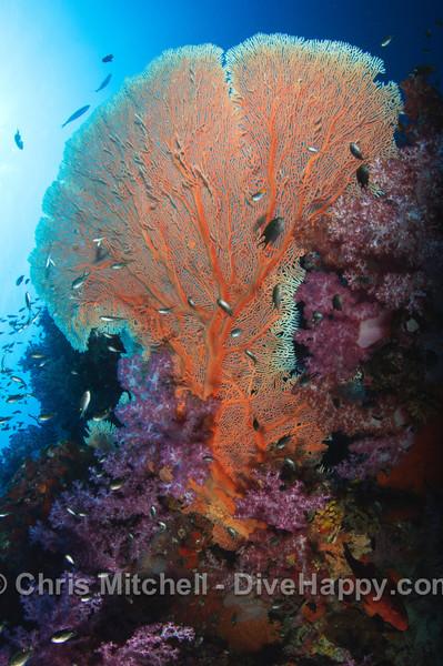 Fan and Soft corals, Richelieu Rock, Similan Islands, Thailand