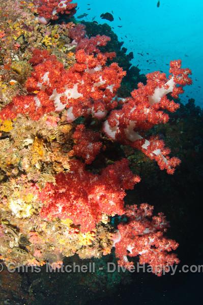 Soft Coral, Hin Daeng, Thailand