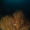 Sea Fan, Koh Haa, Thailand