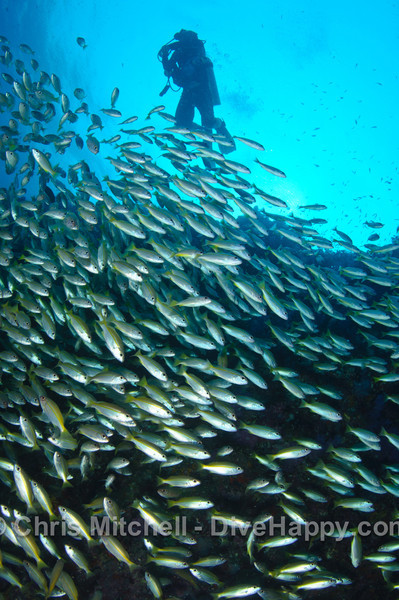 Yellow snapper schooling while diver passes overhead, Richelieu Rock, Richelieu Rock, Similan Islands, Thailand