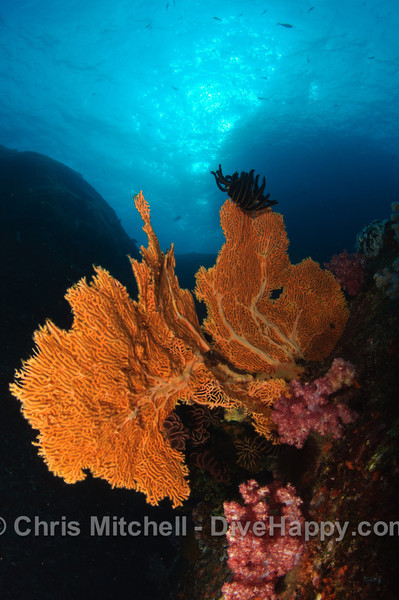 Fan Coral, Elephant Head Rock, Similan Islands, Thailand