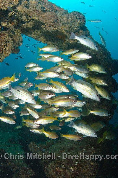 Yellow snapper schooling at the Boonsung Wreck, near Similan Islands, Thailand
