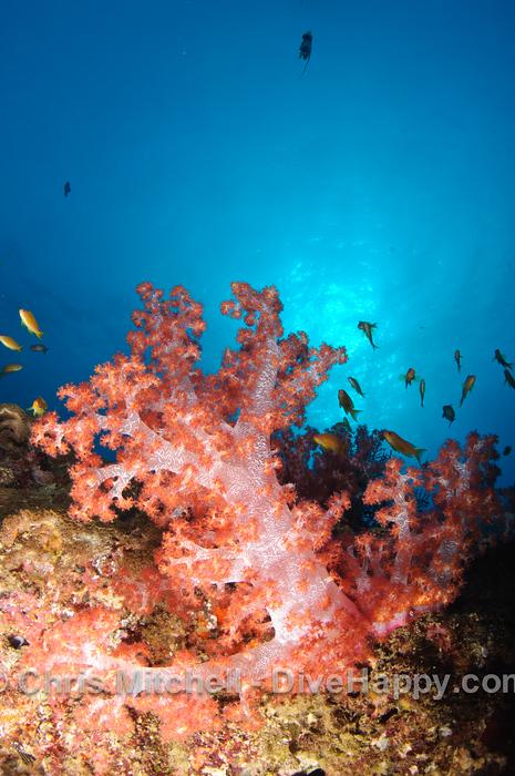 Fan Coral, Elephant Head Rock, Similan Islands, Thailand