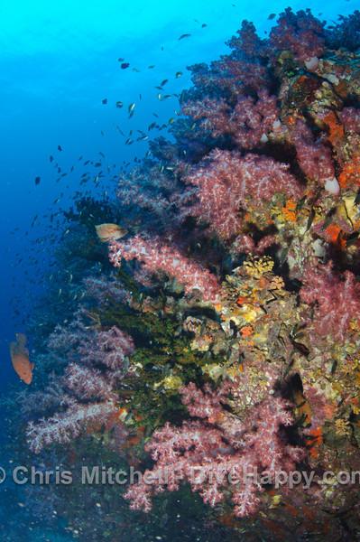 Soft corals, Richelieu Rock, Similan Islands, Thailand
